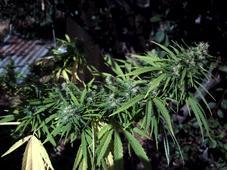 La marihuana no es una droga